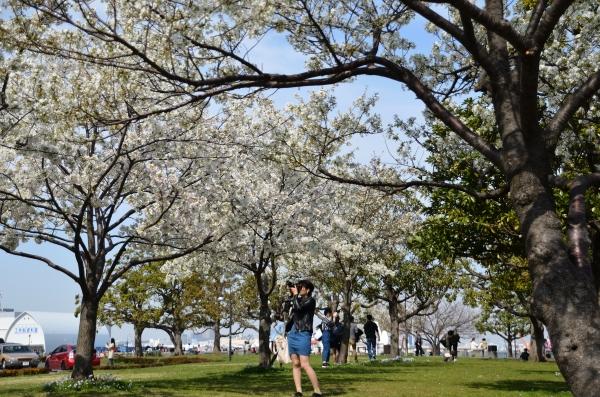 赤レンガの桜2