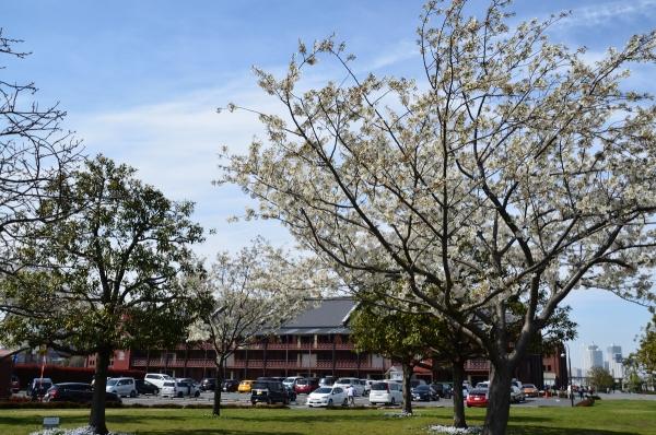 赤レンガの桜1