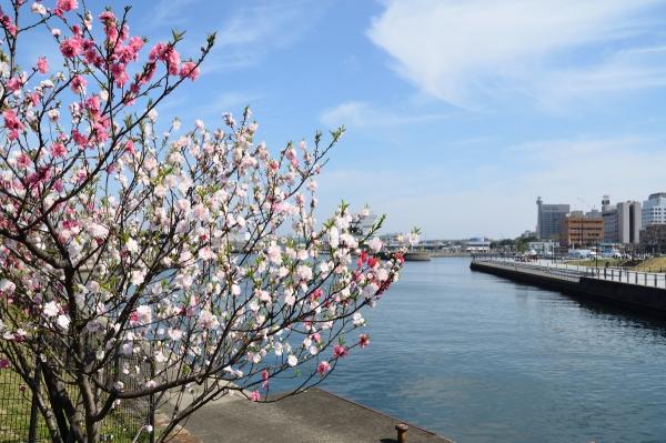 赤レンガの桜11