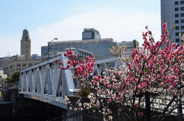 赤レンガの桜10