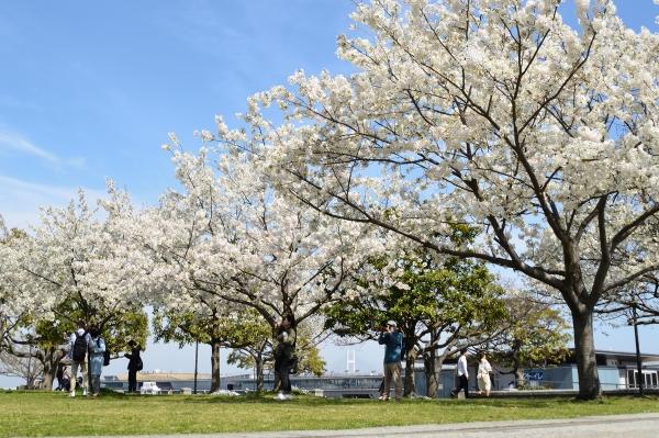 赤レンガの桜8