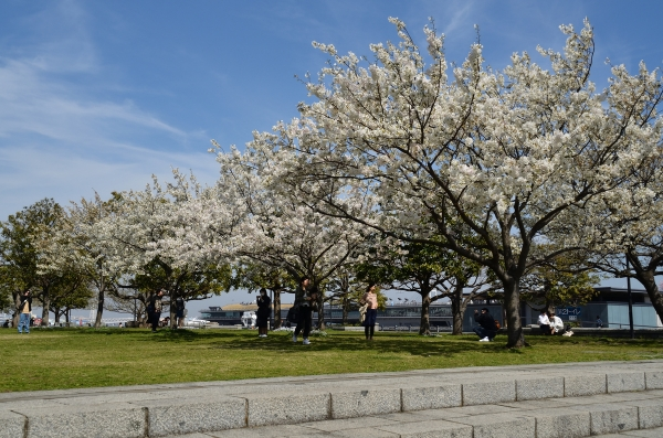 赤レンガの桜9