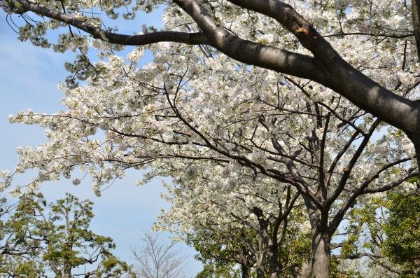 赤レンガの桜7