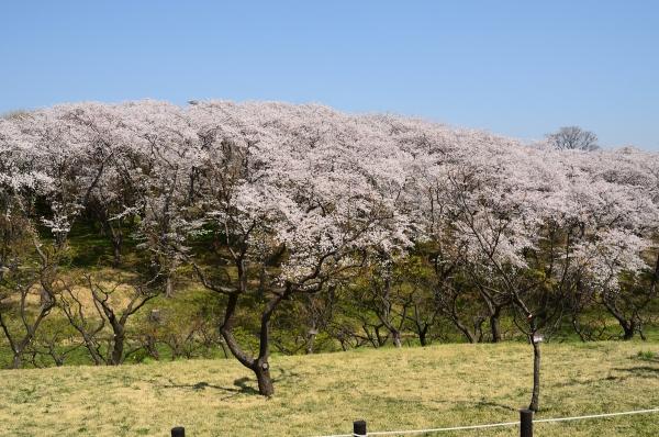 根岸森林公園  桜6