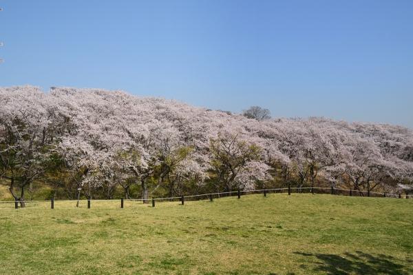 根岸森林公園  桜5