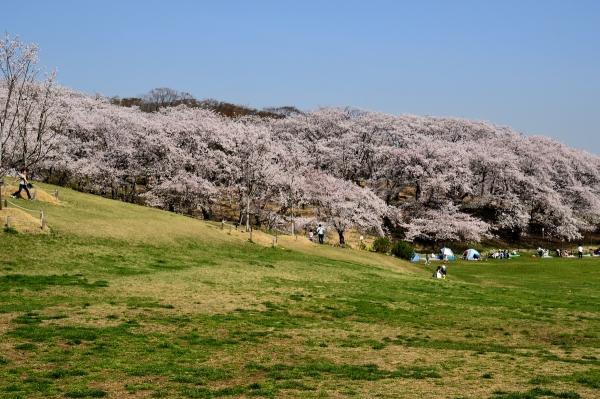 根岸森林公園 桜3