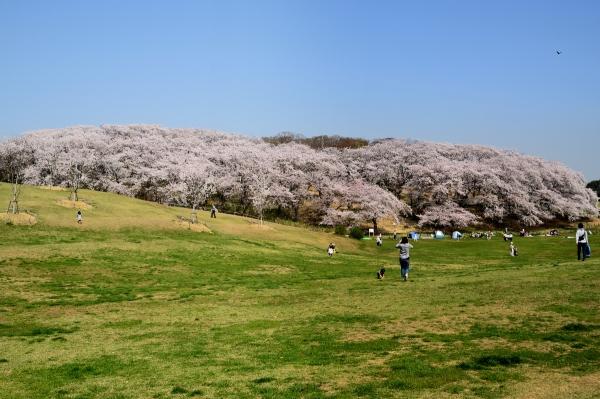 根岸森林公園 桜2