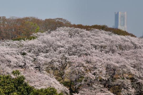 根岸森林公園 桜1