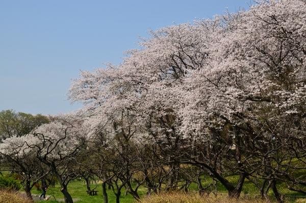 根岸森林公園  桜12