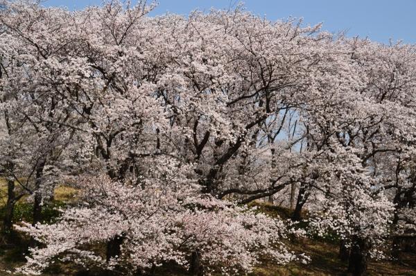 根岸森林公園  桜11