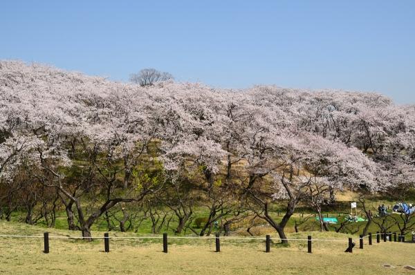 根岸森林公園  桜10