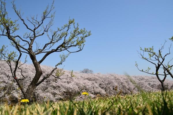 根岸森林公園  桜9