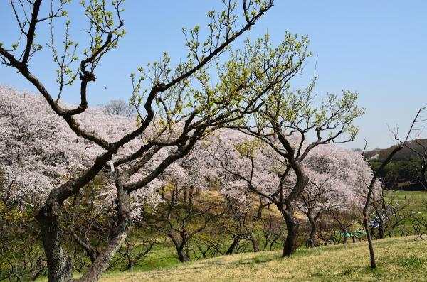 根岸森林公園  桜7