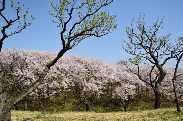 根岸森林公園  桜8