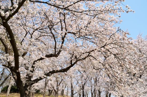 根岸森林公園  桜13