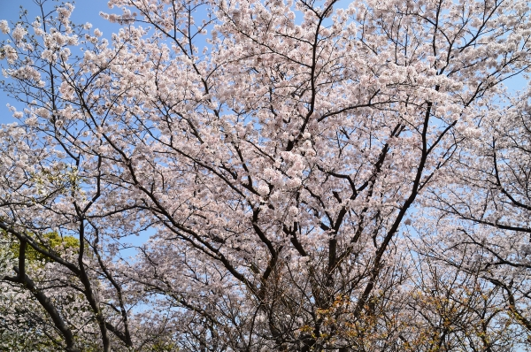 根岸森林公園  桜30