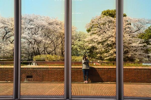 根岸森林公園  桜29