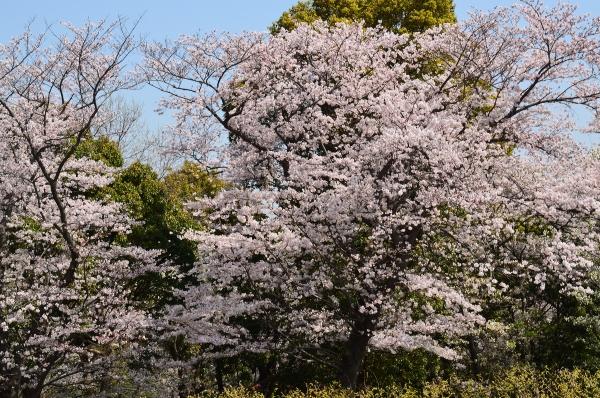 根岸森林公園  桜28