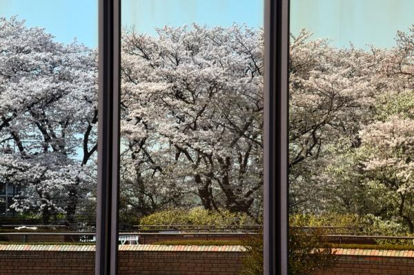 根岸森林公園  桜27