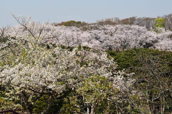 根岸森林公園  桜26