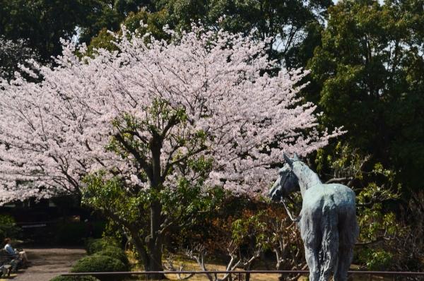 根岸森林公園  桜25