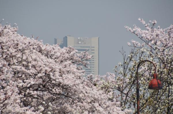 根岸森林公園  桜36