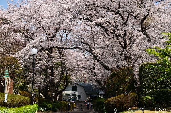 根岸森林公園  桜35