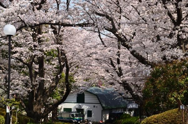 根岸森林公園  桜34