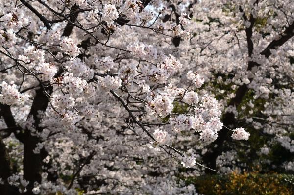 根岸森林公園  桜31