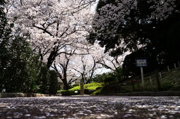山手 桜4