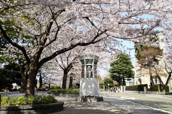 山手 桜12