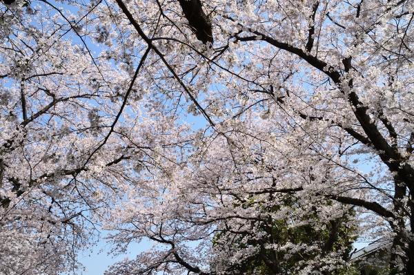 山手 桜7