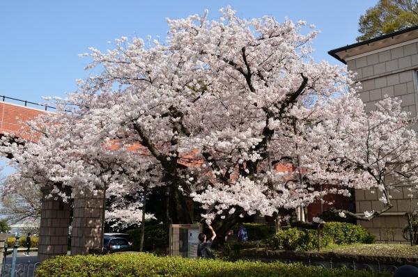 山手 桜16