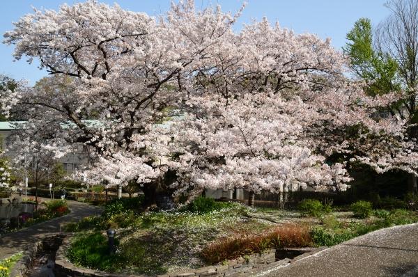 山手 桜15