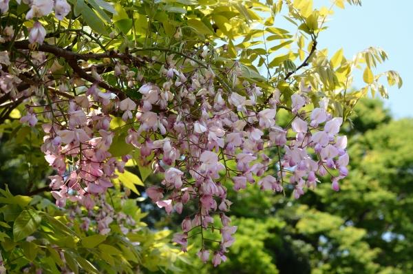 藤の花10