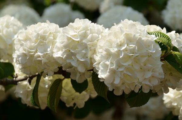 藤の花41