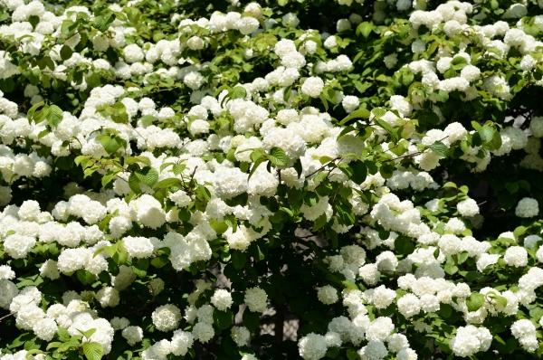 藤の花42