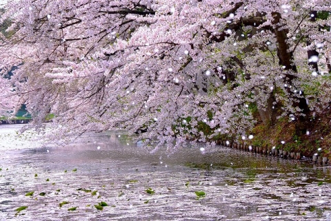 japanese-cherry-blizzard.jpg