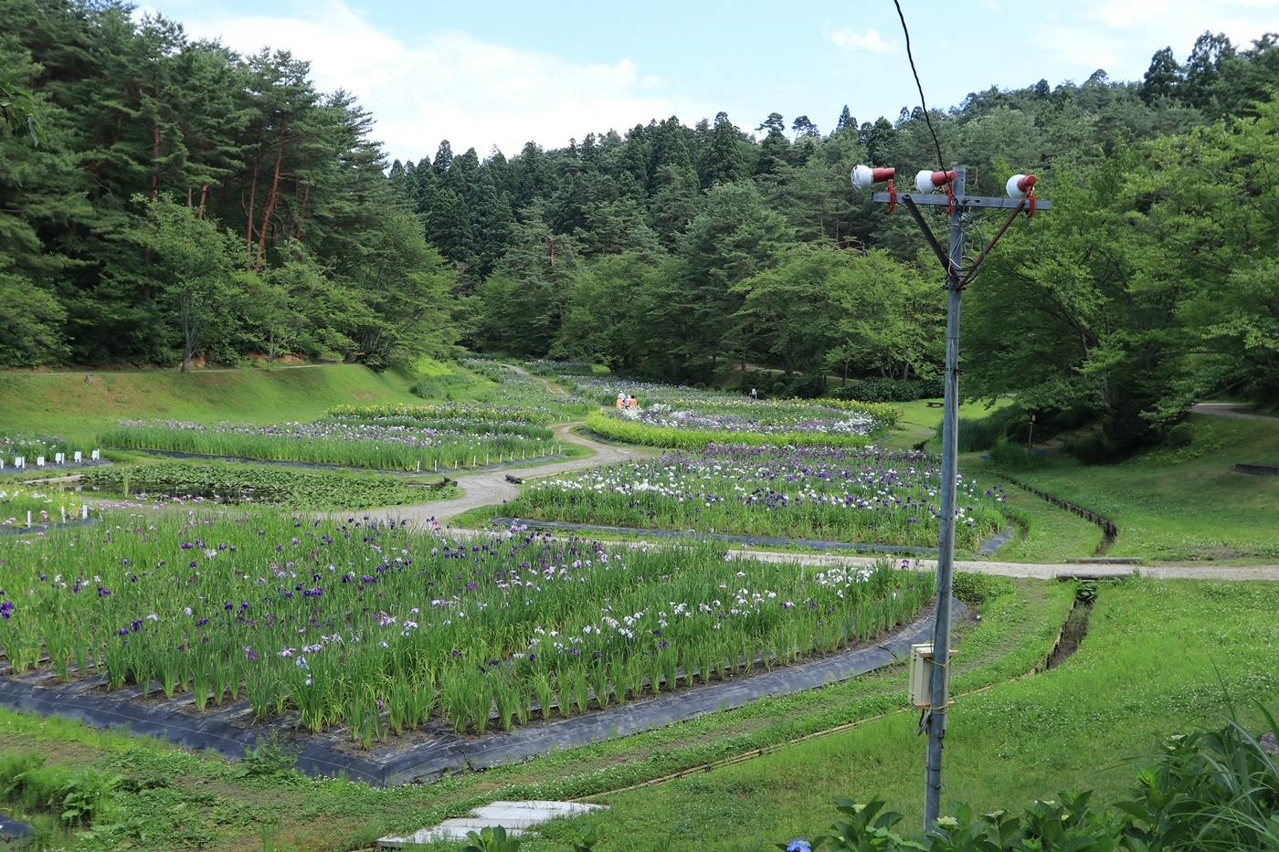●S2013・6・29アヤメ山_11