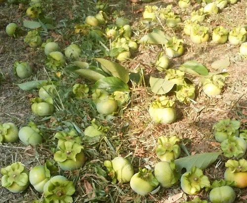 柿摘果地面果実
