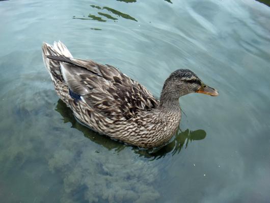 花菖蒲園の鴨