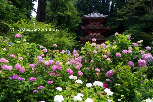 京都・ 岩船寺 三重塔の塔とアジサイ6