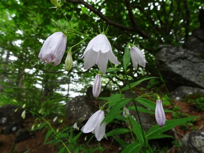 ヒメシャジン白花