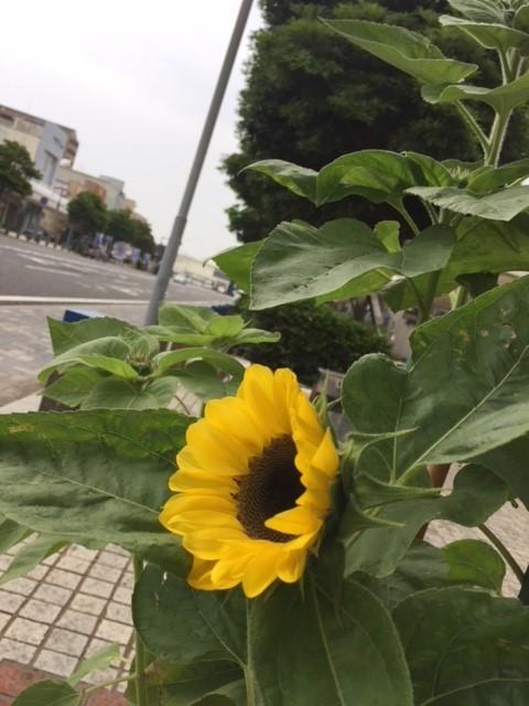 2018_sunflower2.jpg