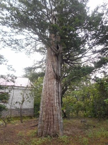 八紘学園 栗林石庭 オンコの巨木
