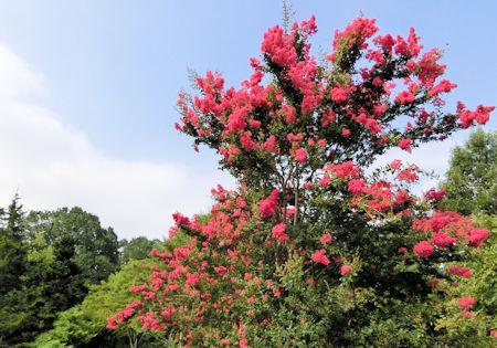 花の道サルスベリ