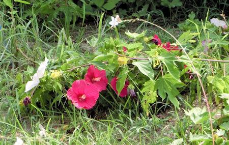 花の道倒れたタイタンビスカス