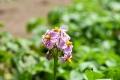 ④ジャガイモ_キタアカリの花