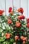 ⑥赤いバラ
