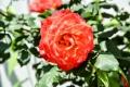 ⑦赤いバラ_アップ